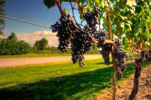 Wine_Country_Niagara_On_the_Lake